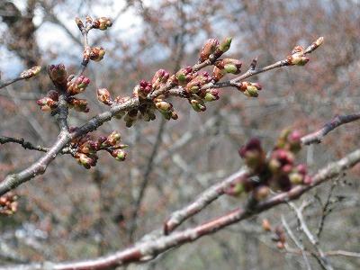 4/15 八乙女公園の開花はもうすぐです。