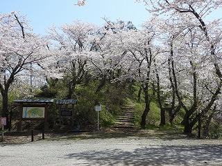 八乙女公園の桜は4/23に満開になりました。